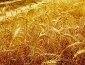 На Брянщине намолочено более 509 тысяч тонн зерновых